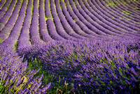 French lavender field